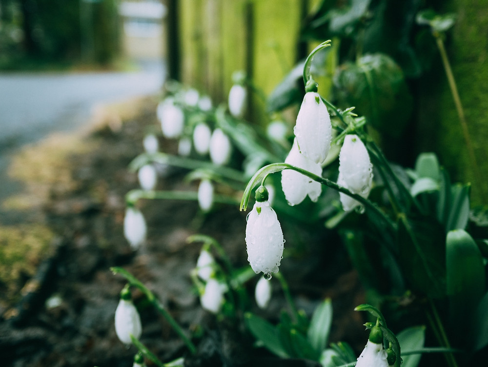 A close-up photo of snowdrops, blooming at the side of a footpath next to a wooden fence.