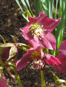 Hellebore (Christmas Rose)