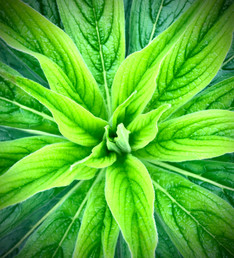 Beautfiful green leaves radiate out like a star, each lined delicately with dark green veins.