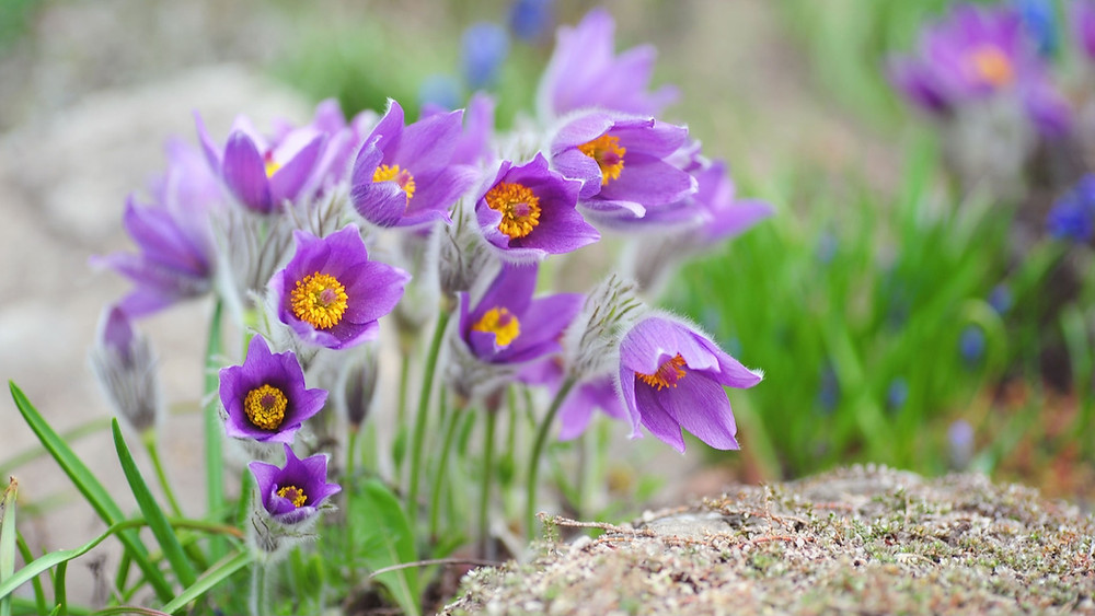 The purple blooms of the Pasque Flower herald that Easter is here.