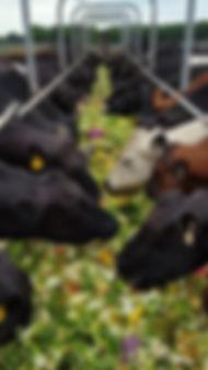 Cows and  vegies.jpg