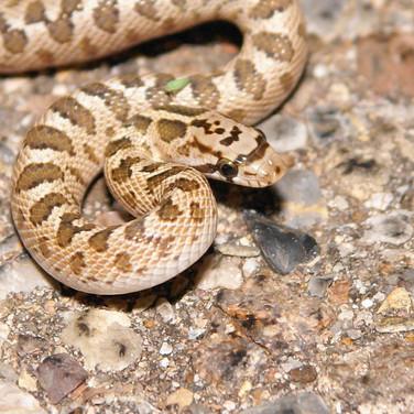 Arizona Glossy Snake