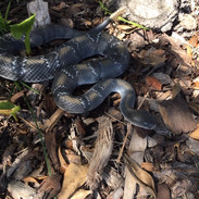 "Timber Rattlesnake - 30"" Replica"