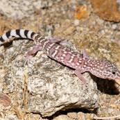 Switak's Banded Gecko
