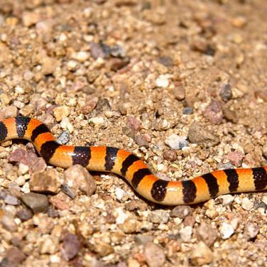 Variable Sand Snake