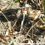 Orange-Throated Whiptail