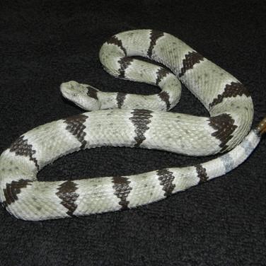 """Banded Rock Rattlesnake - 31"""" Replica"""