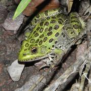Chiricahuan Leopard Frog