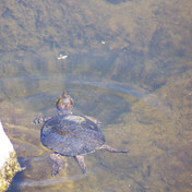 Soutwestern Pond Turtle