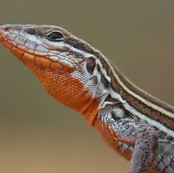 Orane-throated Whiptail