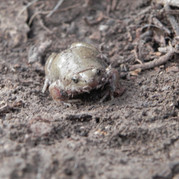 Narrow-mouthed Toad
