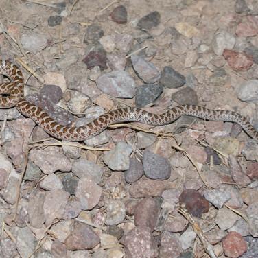 Painted Desert Glossy Snake