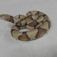 "Southern Copperhead - 30"" Replica"