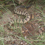 "Black-tailed Rattlesnake - 40"" Replica"