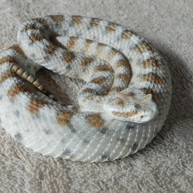"""Sidewinder - 23"""" Coiled Replica"""