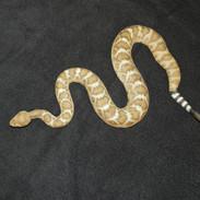 "Western Diamondback Rattlesnake - 30"" Replica"
