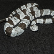 """Banded Rock Rattlesnake - 30"""" Replica"""