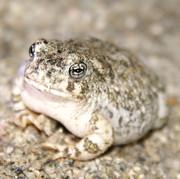 Arroyo Toad