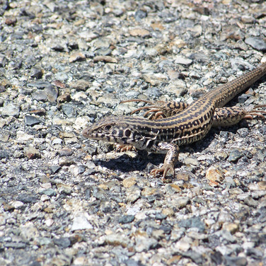 Coastal Whiptail