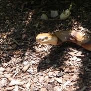 "Copperhead - 37"" Crawling Replica"