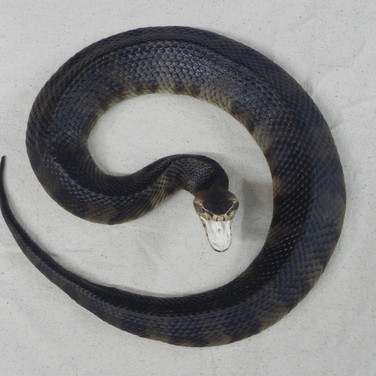 """Cottonmouth Water Moccasin - 37"""" replica"""