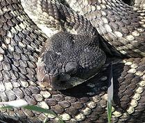 Rattlesnake Head 3.jpg