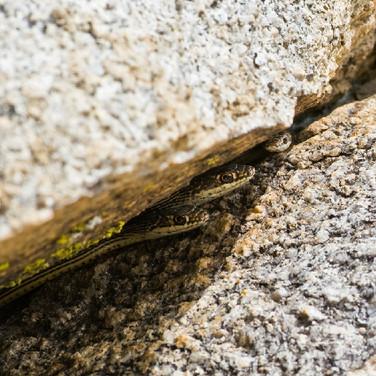 Desert Striped Whipsnake