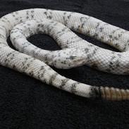 """Southwestern Speckeld Rattlesnake - 30"""" Replica"""