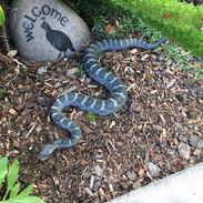 "Arizona Black Rattlesnake - 30"" Replica"