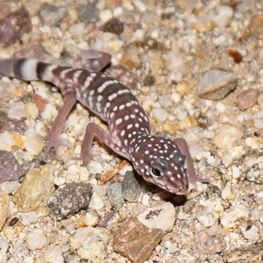 Switak's Banded Gecko