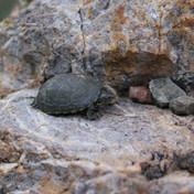 Sonoran Mud Turtle