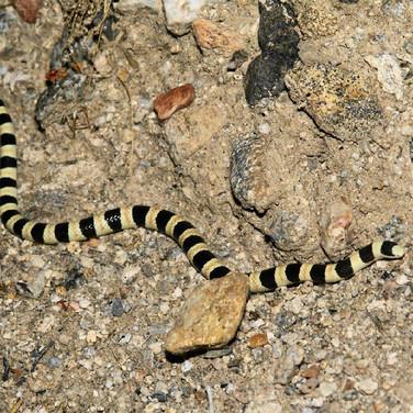 Colorado Desert Shovel-nosed Snake