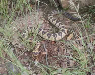"""Black-tailed Rattlesnake - 40"""" Replica"""