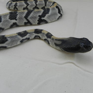 "Timber Rattlesnake - 40"" Replica"
