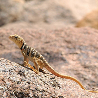 Baja California Collared Lizard