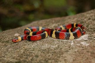 Scarlet Kingsnake.jpg