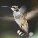 hummer in full flight