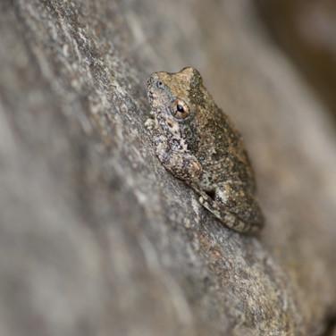 California Treefrog