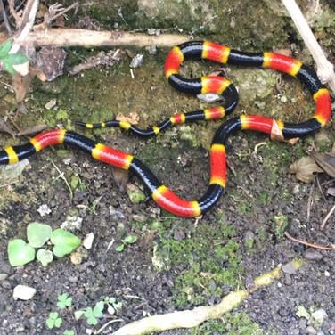 "Eastern Coral Snake - 23"" Replica"