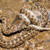 California Glossy Snake
