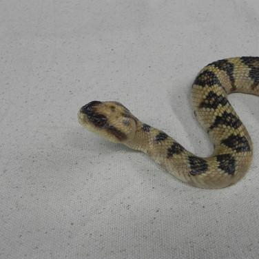 """Black-tailed Rattlesnake - 30"""" Replica"""
