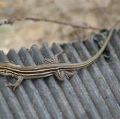 Sonoran Spotted Whiptail