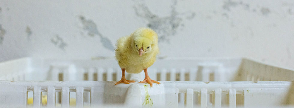ChickenFarmHatchery_Mexico_JMcArthur_201