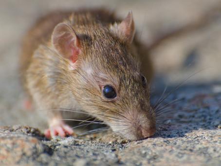 Sensibilisation contre la prolifération des rats