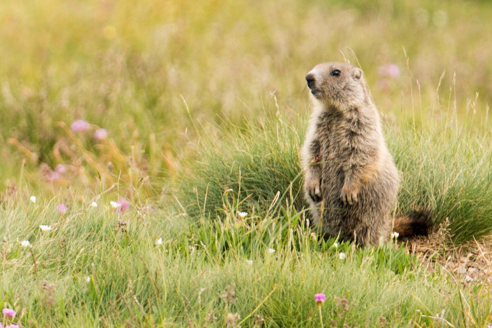 Bonjour petite marmotte !