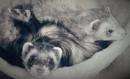 sleepy ferrets