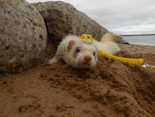 beach ferret