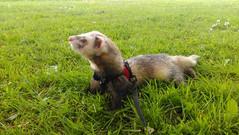 field ferret