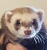 Ferret picture