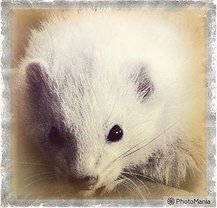 Image of a white ferret
